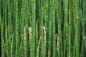 A mass of HorseTails