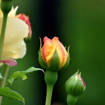 Orange and yellow rose.